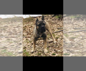 Father of the Cane Corso puppies born on 04/14/2019