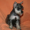 Schnauzer (Miniature) Puppy For Sale in CEDAR PARK, TX, USA