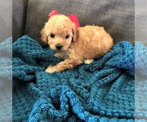 Cavapoo Puppy for Sale in NAPPANEE, Indiana USA