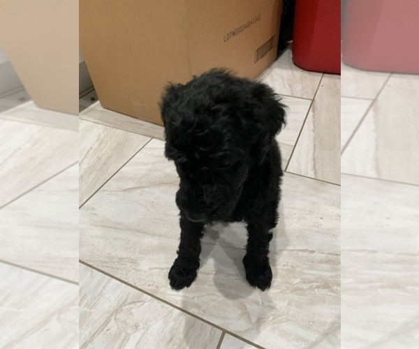 Medium Photo #5 Poodle (Standard) Puppy For Sale in TAMPA, FL, USA