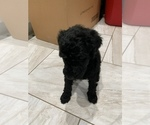 Small Photo #5 Poodle (Standard) Puppy For Sale in TAMPA, FL, USA