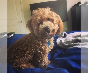 Maltipoo Puppy for sale in STATEN ISLAND, NY, USA