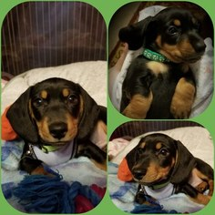 Dachshund Puppy For Sale in PEMBROKE PINES, FL, USA
