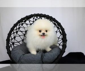 Pomeranian Puppy for Sale in CINCINNATI, Ohio USA