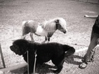 Newfoundland Puppies of Umfleet Farms