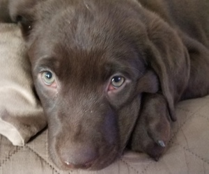 Labrador Retriever Puppy for Sale in CANYON LAKE, Texas USA