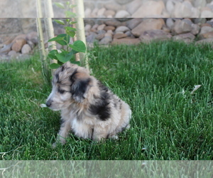 Aussie-Poo Puppy for Sale in WESTCLIFFE, Colorado USA