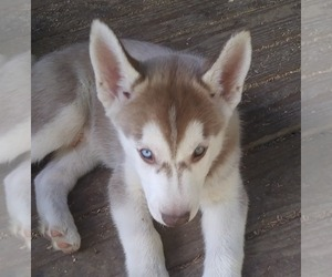 Siberian Husky Dog for Adoption in SALEM, Oregon USA