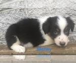 Small #9 Australian Shepherd