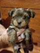 Yorkshire Terrier Puppy For Sale in GREENWOOD, IN, USA