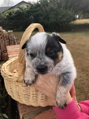 Australian Cattle Dog Puppy For Sale in SHALLOTTE, NC, USA