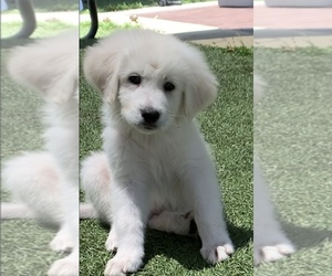 Great Pyrenees Puppy for sale in SAN DIEGO, CA, USA