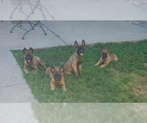 Belgian Malinois Puppy for sale in ANKENY, IA, USA