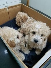 Maltipoo Puppy for sale in THORNTON, CO, USA