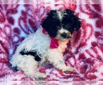 Poovanese Puppy For Sale in HONEY BROOK, PA, USA