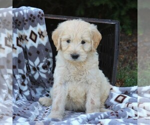 Goldendoodle (Miniature) Puppy for sale in ELIZABETHVILLE, PA, USA
