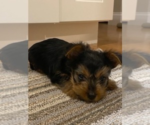 Yorkshire Terrier Puppy for sale in MENDON, MA, USA