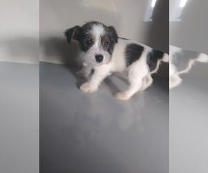 Medium Jack Russell Terrier-Schnauzer (Miniature) Mix