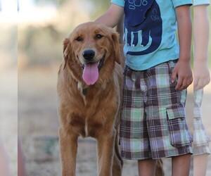 Golden Retriever Puppy for sale in CLOVIS, CA, USA