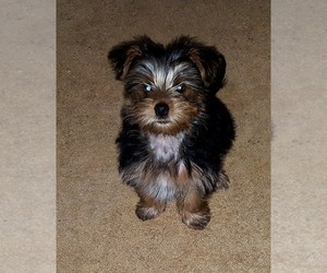 Morkie Puppy for sale in CHICKASHA, OK, USA