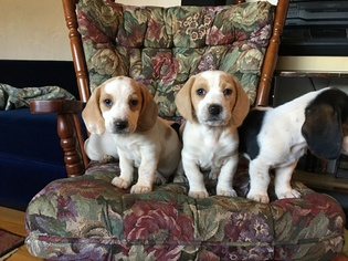 View Ad Bagle Hound Litter Of Puppies For Sale Near North Carolina
