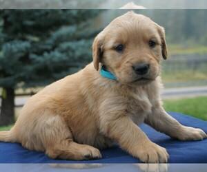 Golden Retriever Dog for Adoption in SAINT IGNATIUS, Montana USA