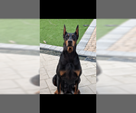 Doberman Pinscher Puppy For Sale in PASO ROBLES, CA, USA