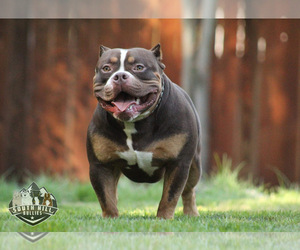 Father of the American Bully puppies born on 10/11/2020