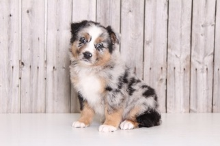 australian shepherd puppies ohio