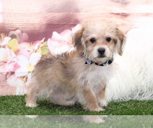 Morkie Puppy for sale in MARIETTA, GA, USA