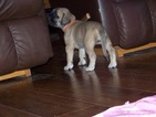 Mastiff Puppy For Sale in DARBY, MT, USA