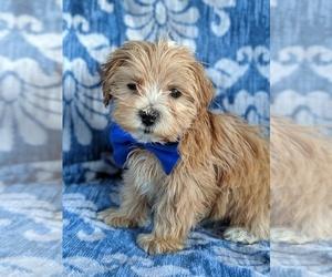 ShihPoo Dog for Adoption in LANCASTER, Pennsylvania USA