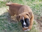 Boxer Puppy For Sale in SUCCASUNNA, NJ