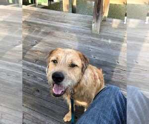 Golden Retriever-Staffordshire Bull Terrier Mix Dogs for adoption in SAVANNAH, GA, USA