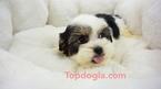 Mal-Shi Puppy For Sale in LA MIRADA, CA, USA