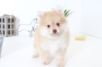 Pomeranian Puppy For Sale in NAPLES, Florida,