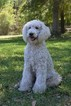 Poodle (Standard) Puppy For Sale in LIVE OAK, FL, USA