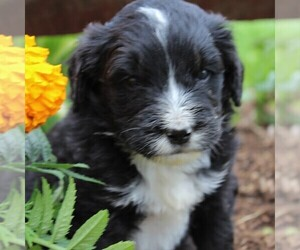 Bernedoodle Puppy for sale in QUARRYVILLE, PA, USA