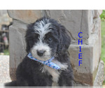 Puppy 9 Bernedoodle