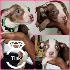 American Pit Bull Terrier Puppy For Sale in TALLAHASSEE, FL, USA