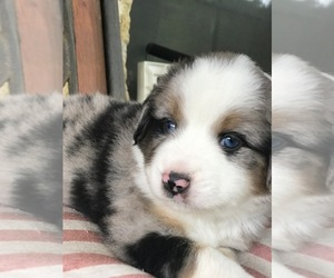 Puppies for Sale near Willis, Texas, USA, Page 1 (10 per