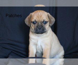 Puggle Puppy for sale in DILLWYN, VA, USA