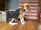 Beagle Dog For Adoption in WEST PLAINS, MO, USA