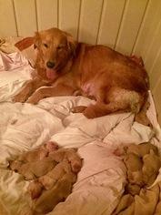 Golden Retriever Puppy For Sale in HATTIESBURG, MS, USA