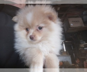 Pomeranian Puppy for sale in SPOTSYLVANIA, VA, USA