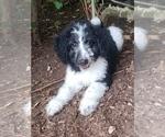 Puppy 4 Aussiedoodle