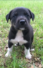 Blue Lacy-Border Collie Mix Puppy for sale in COLLEGE STATION, TX, USA