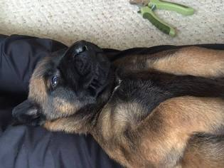 Belgian Malinois Dog For Adoption in BELLEVILLE, IL