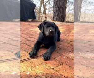 Labrador Retriever Puppy for Sale in MIDDLETOWN, New York USA