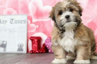 Parker Male Lhasa Apso Puppy